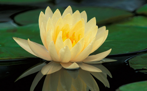 lily-pale-yellow